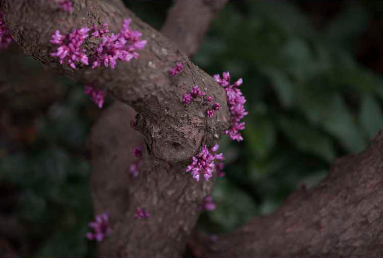 #TeachingTuesday: Redbud