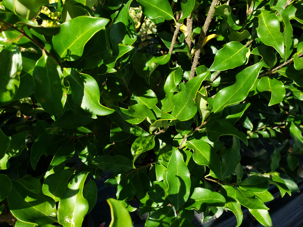 #TeachingTuesday: Ligustrum and Proper Watering