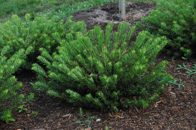#TeachingTuesday: Cephalotaxus, Japanese Plum Yew