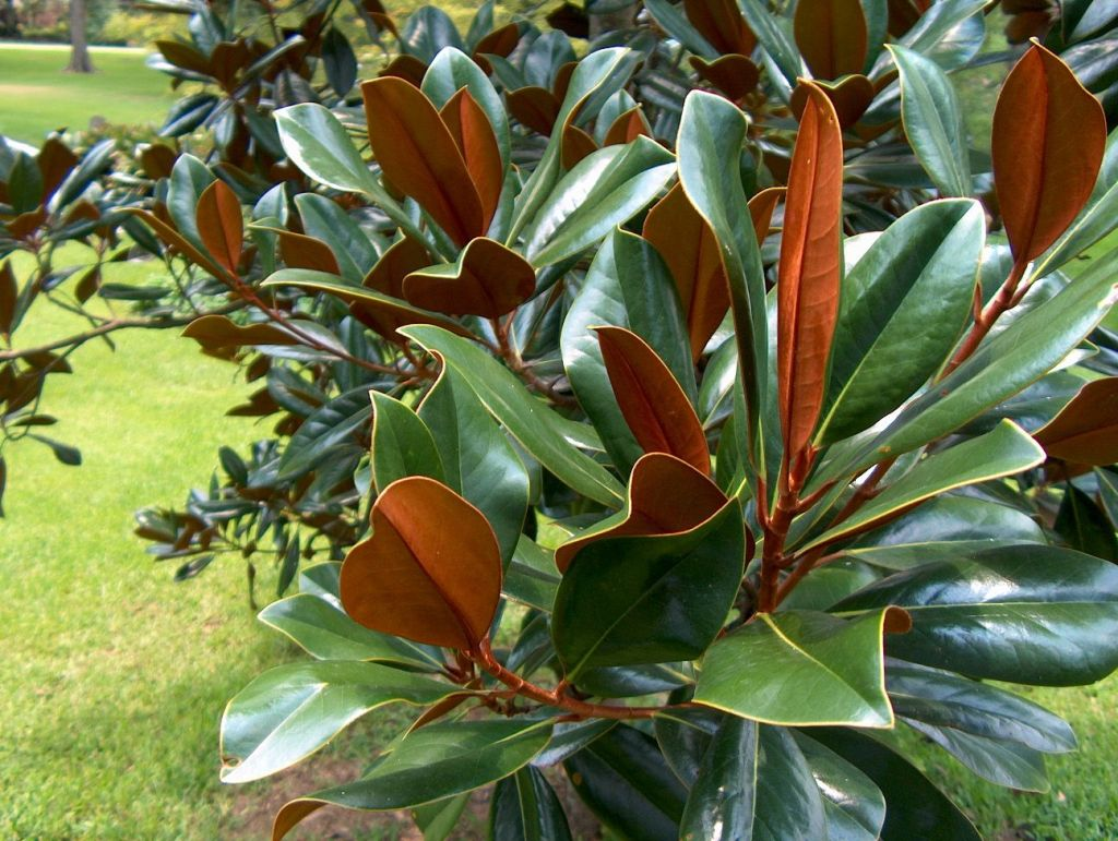 #TeachingTuesday: Southern Magnolia