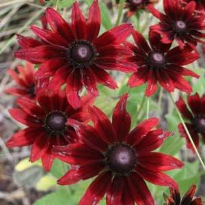 #TeachingTuesday: Rudbeckia, AKA Black-eyed Susans