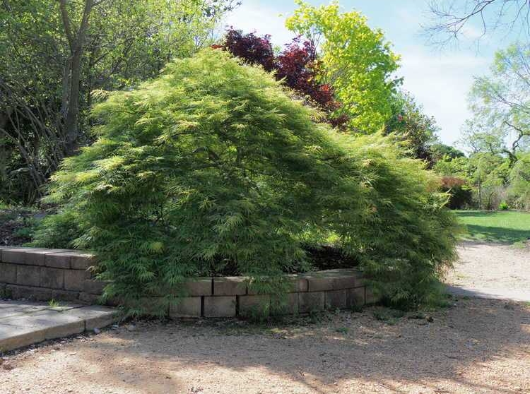 #TeachingTuesday: Japanese Maple