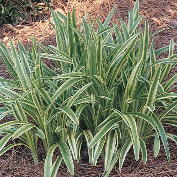 #TeachingTuesday: Carex oshimensis 'Evergold'