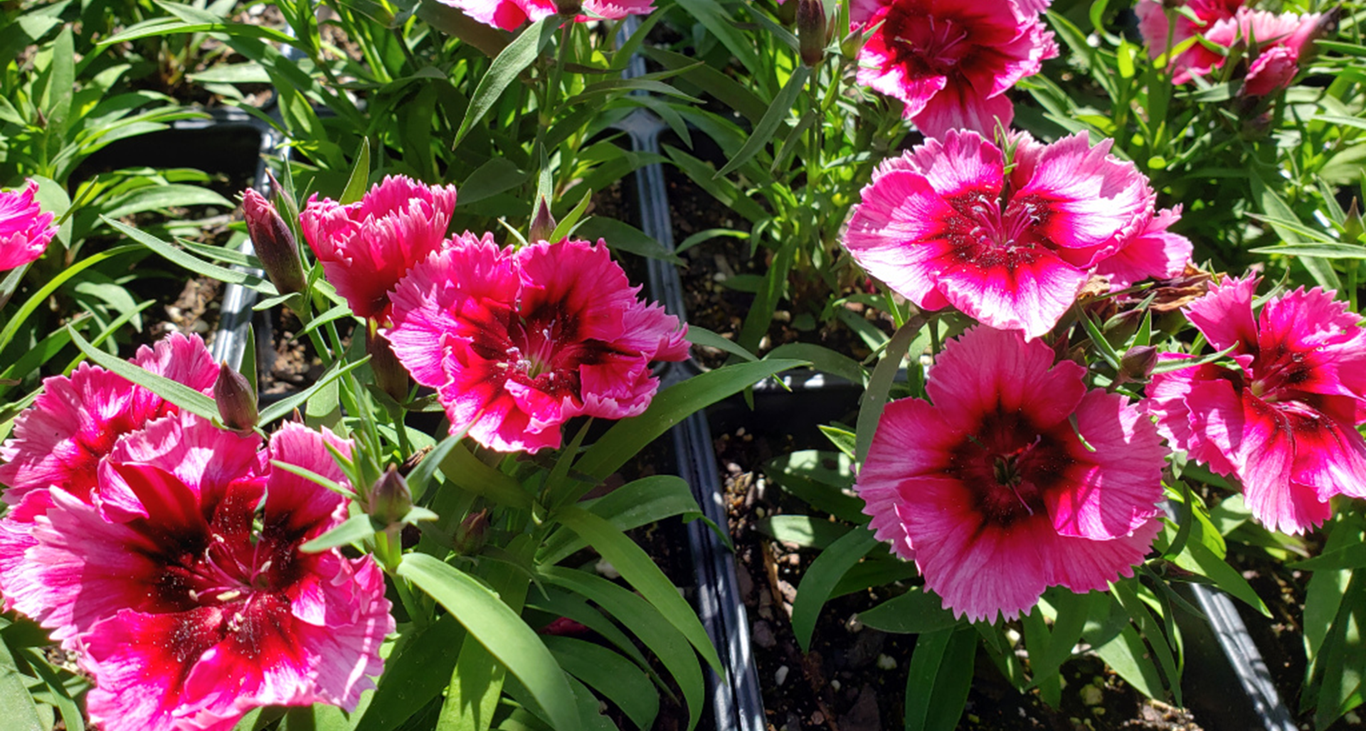 #TeachingTuesday: Dianthus, AKA Pinks or Sweet Williams