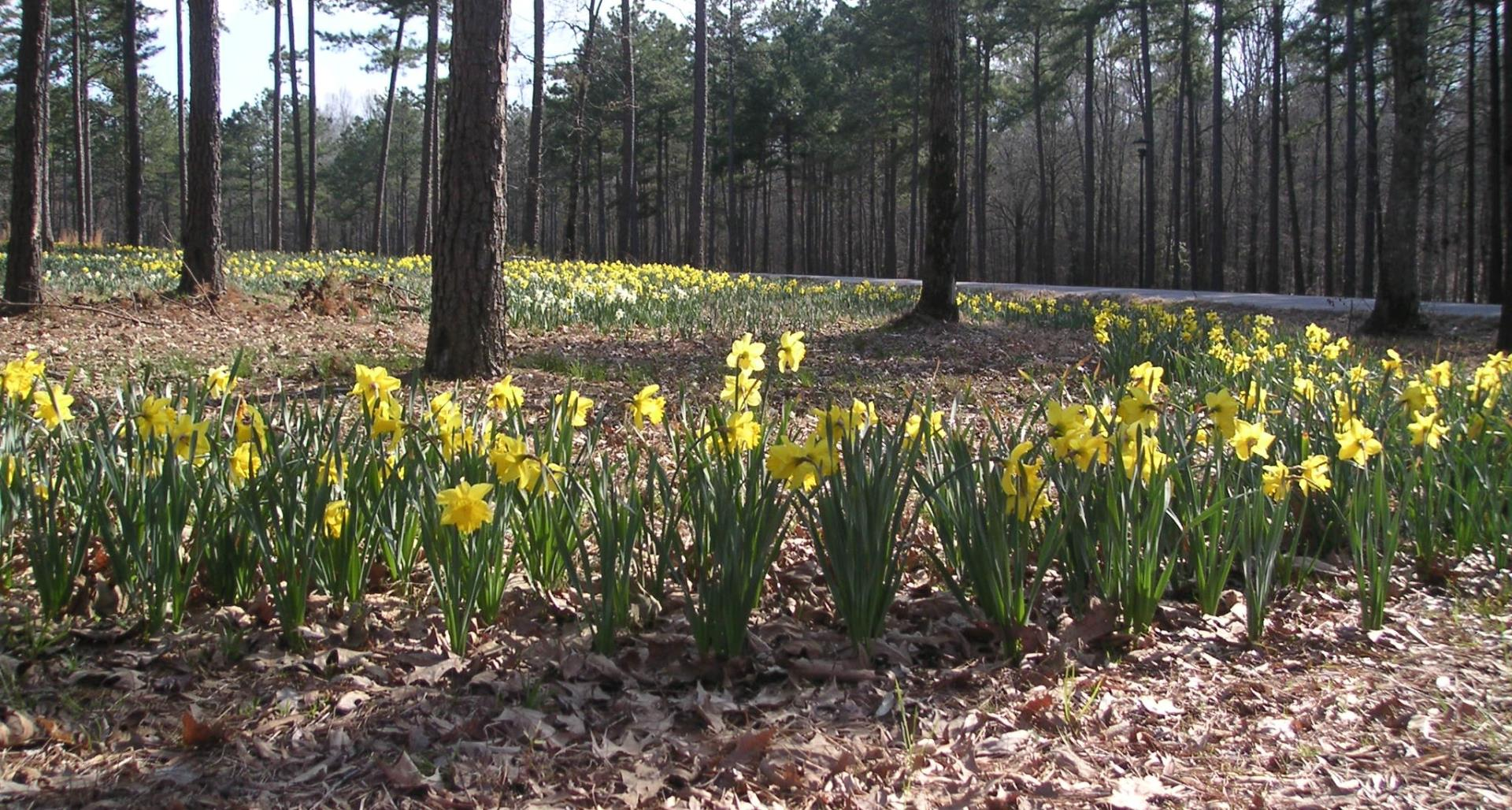 #TeachingTuesday: Daffodils