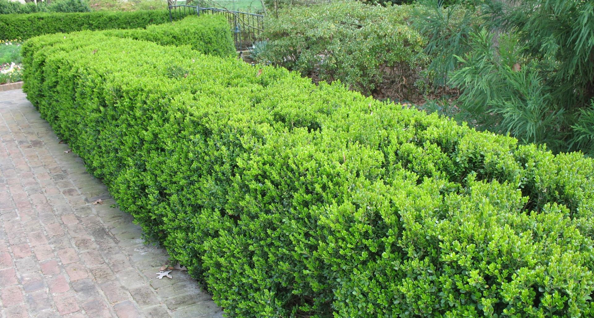 #TeachingTuesday: Korean Boxwood