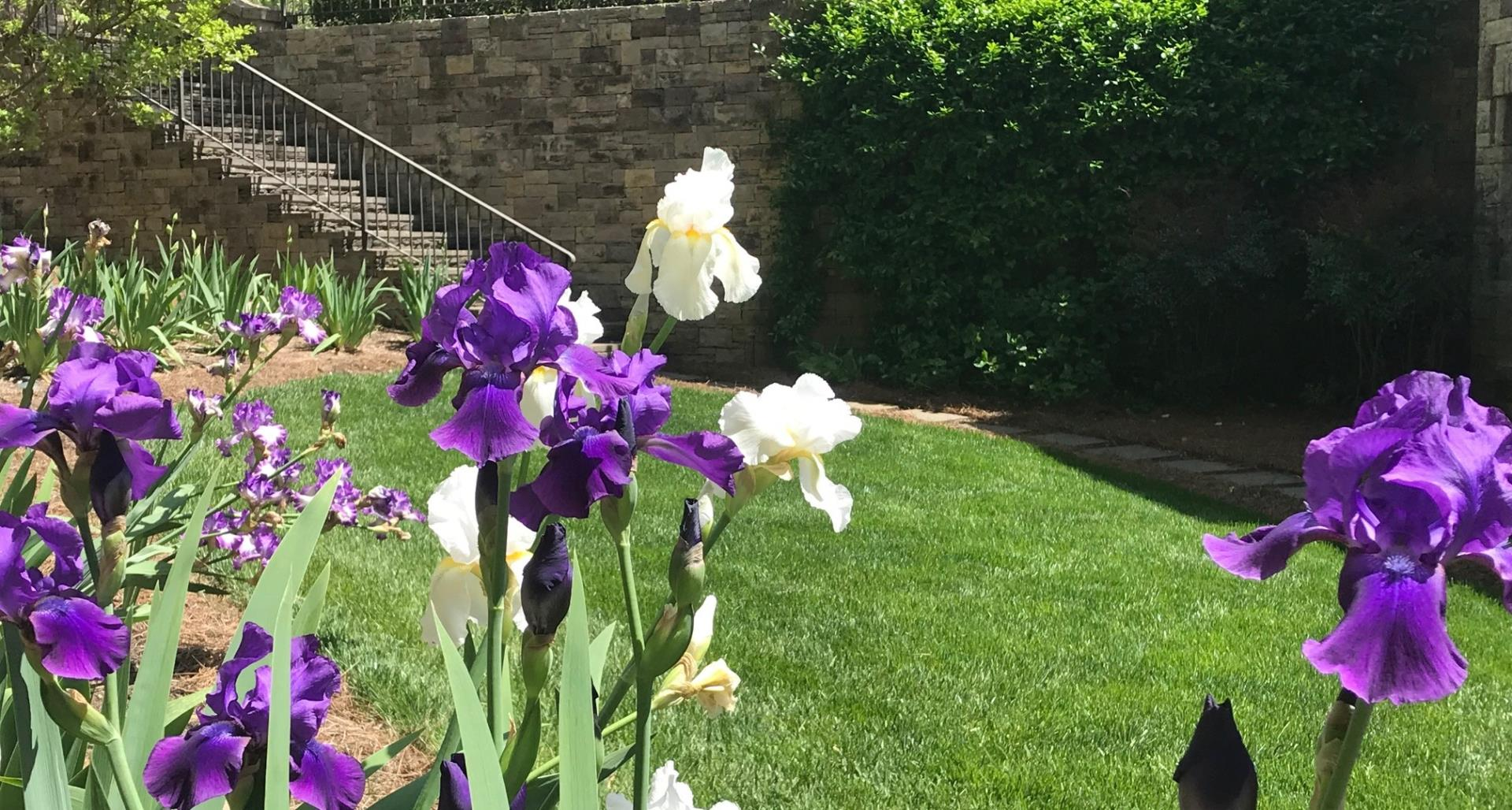 #TeachingTuesday: Bearded Iris