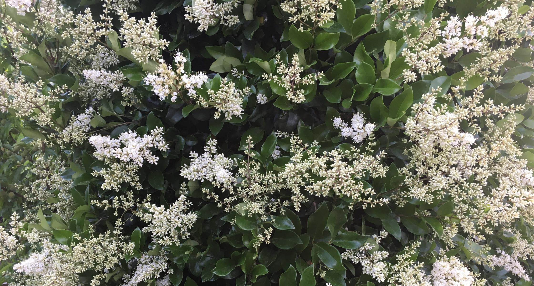 #TeachingTuesday: Ligustrum, AKA Japanese Privet