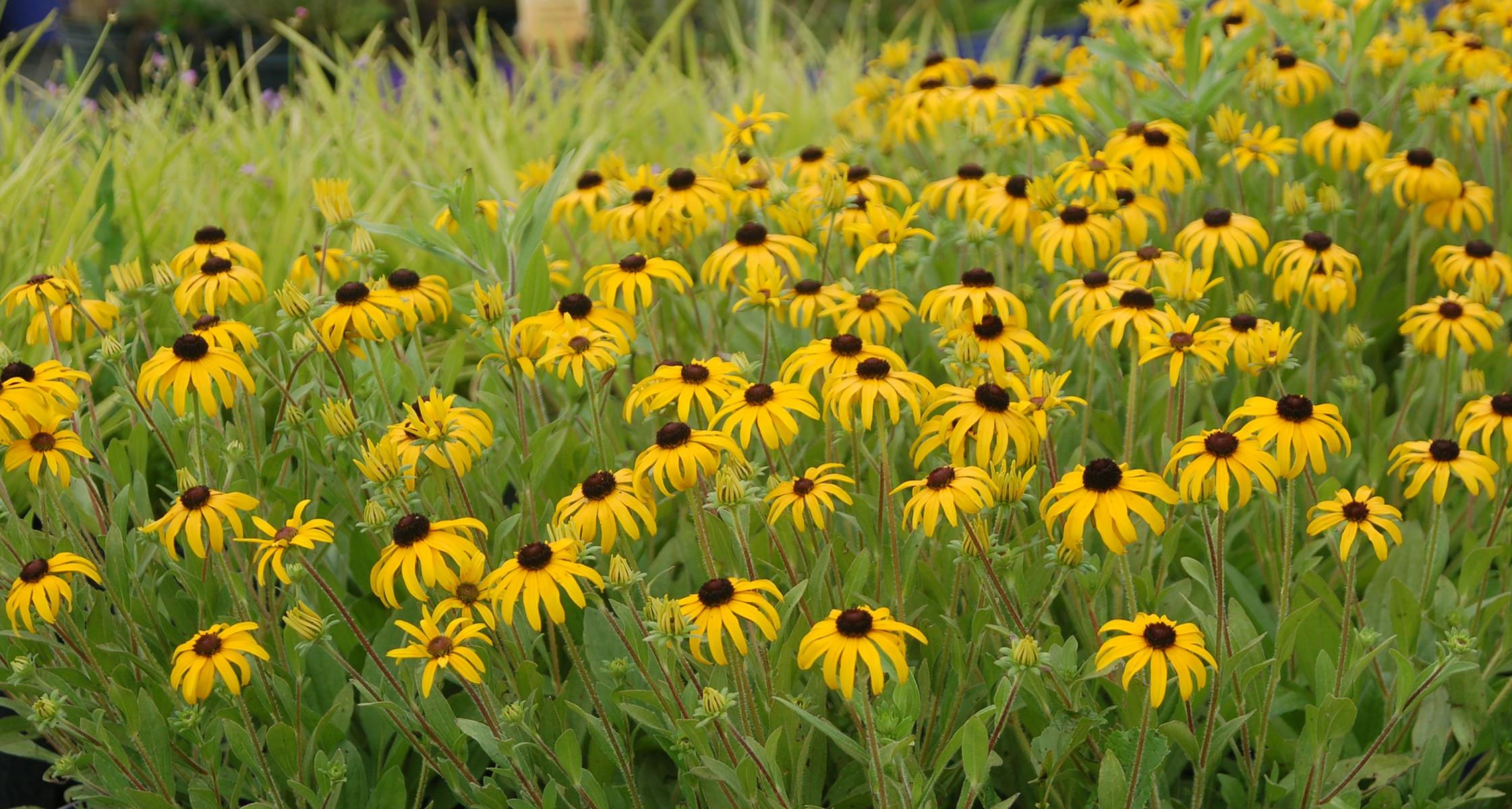 #TeachingTuesday: Coneflowers (Echinacea and Rudbeckia)