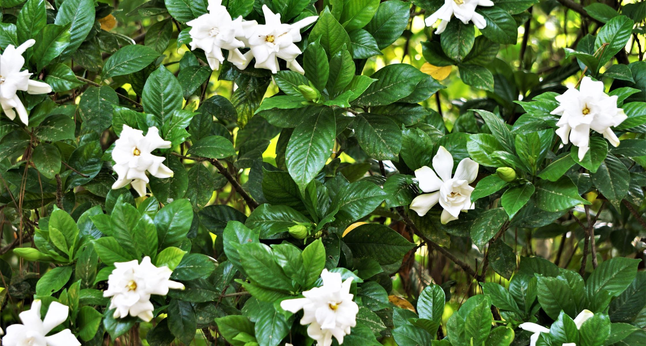 #TeachingTuesday: Gardenia