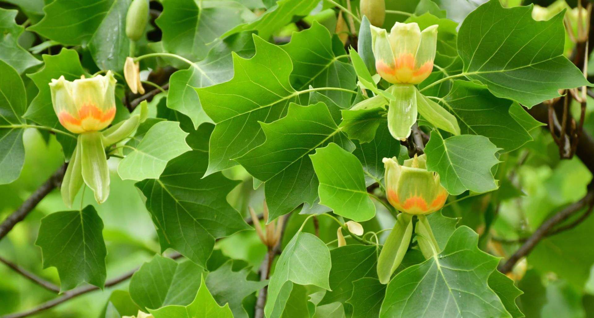 #TeachingTuesday: Tulip Poplar