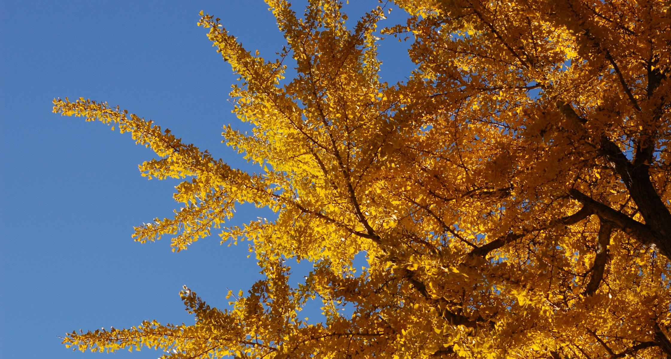 #TeachingTuesday: Ginkgo