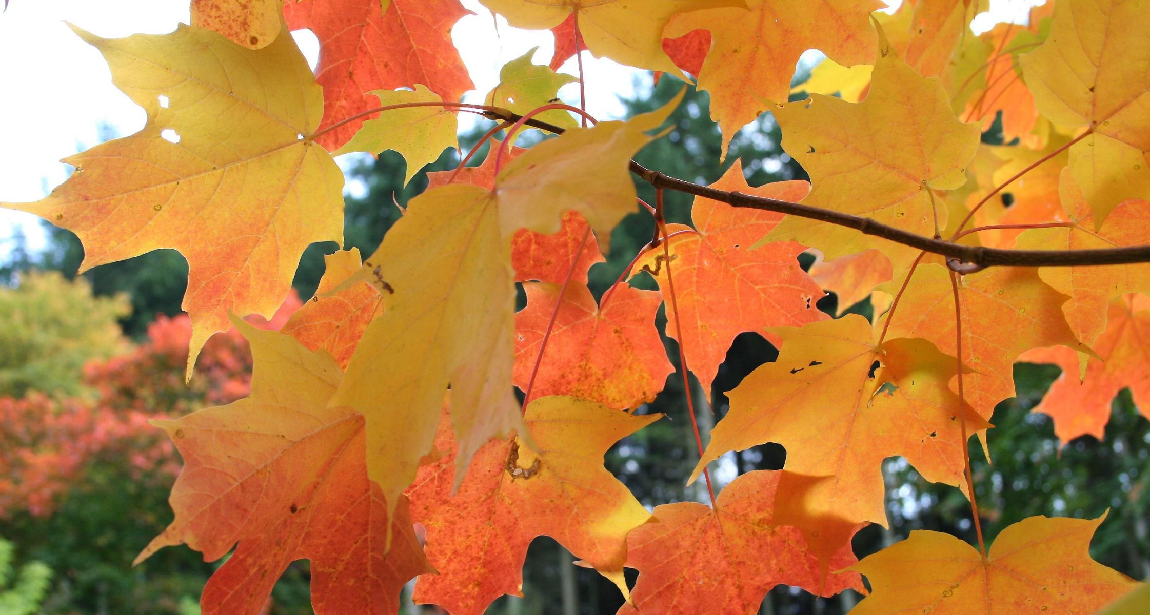 #TeachingTuesday: Sugar Maple