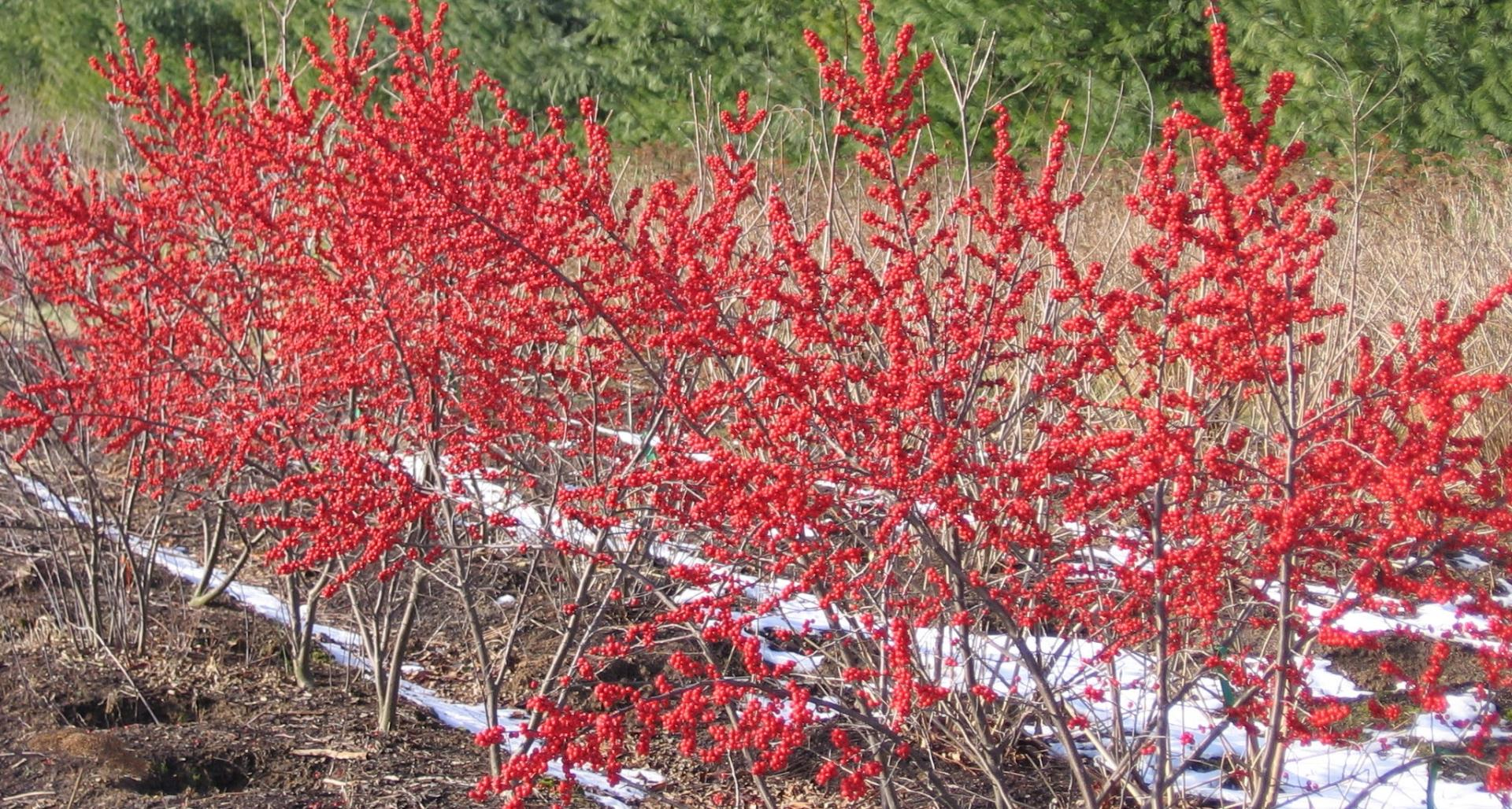 #TeachingTuesday: Winterberry Holly