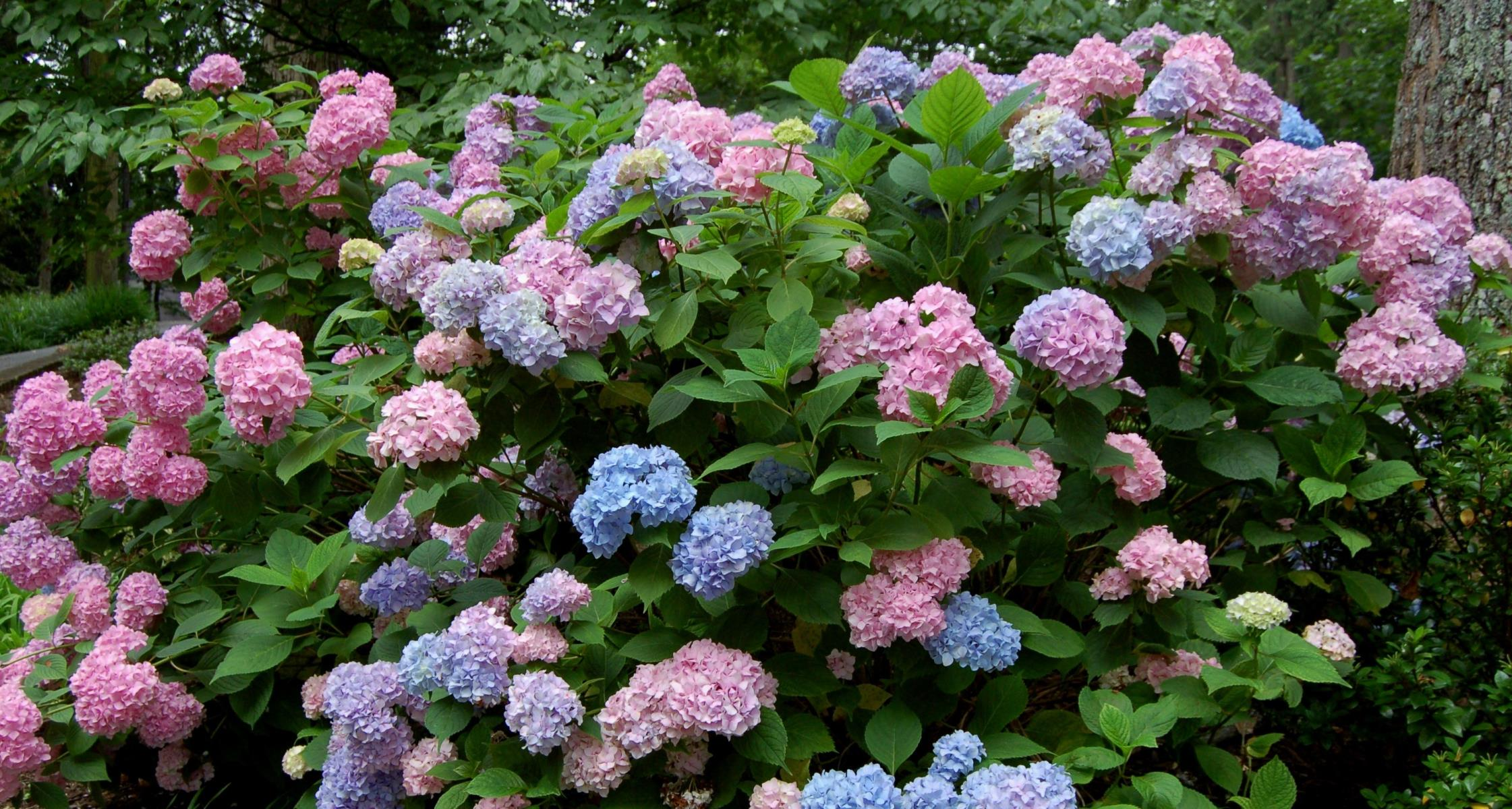 #TeachingTuesday: Bigleaf Hydrangea